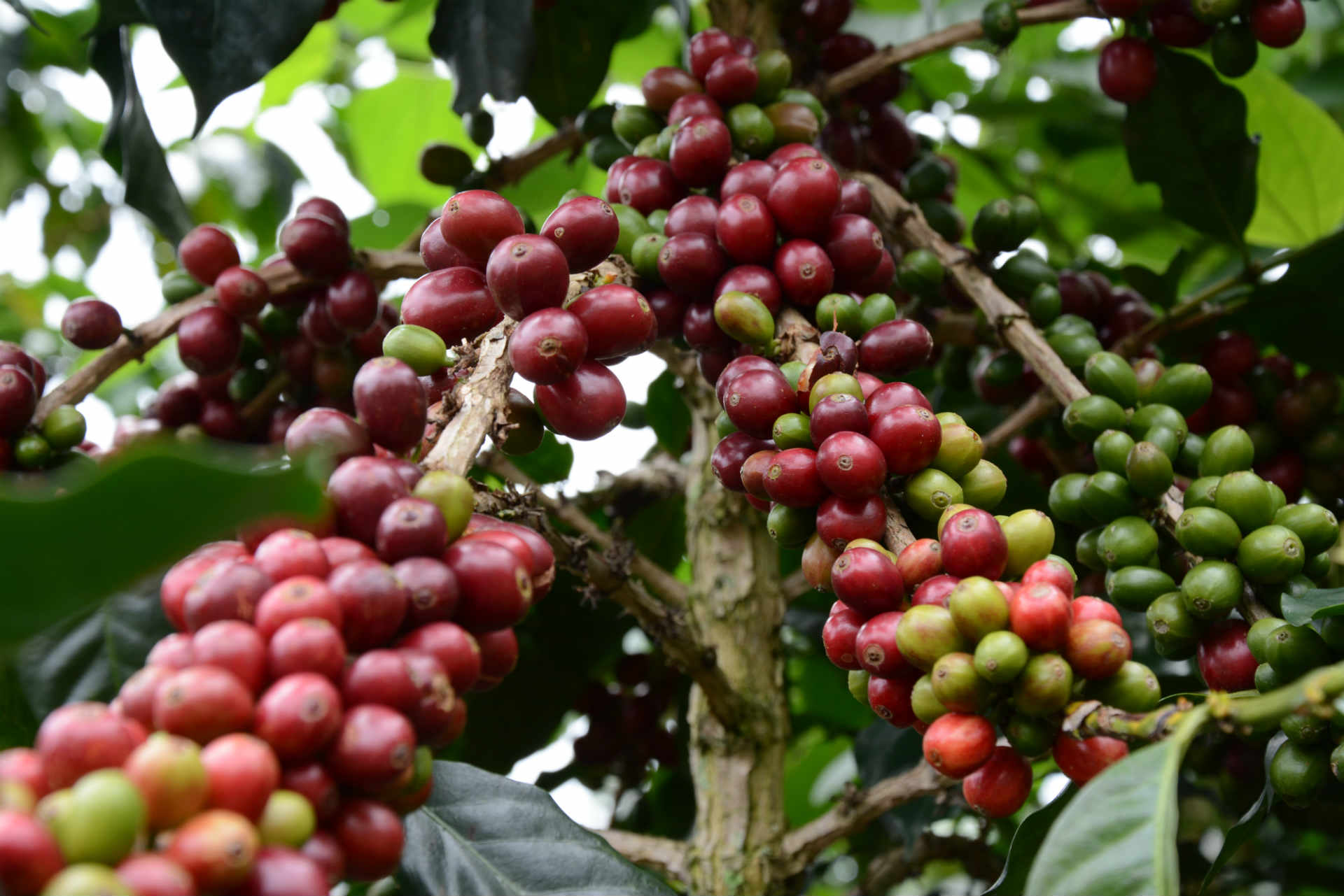 Coffee tour Bogotá Colombia